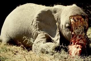 Poached_elephant