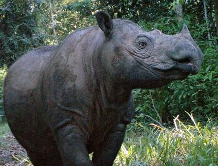 Ratu-sumatran-rhino-pregnant-photo-1