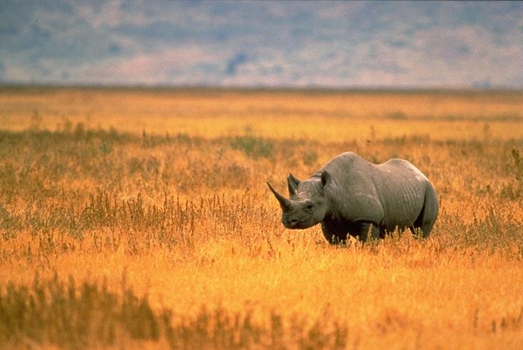 black rhino photo credit john and karen hollingsworth
