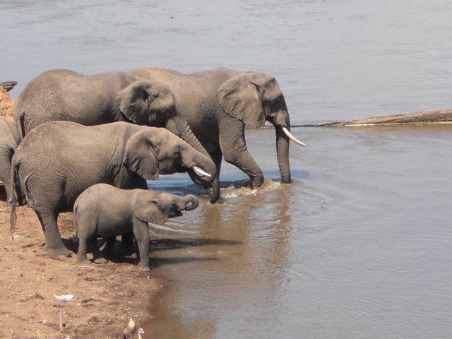 elephants cross the Mara River