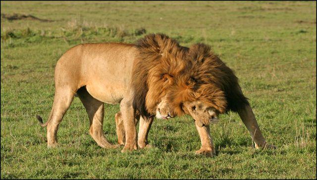 govBila-Shaka-Lions2