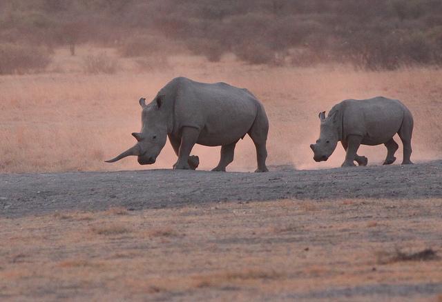 rhinos-photo-credit-fred-von-winckelmann1