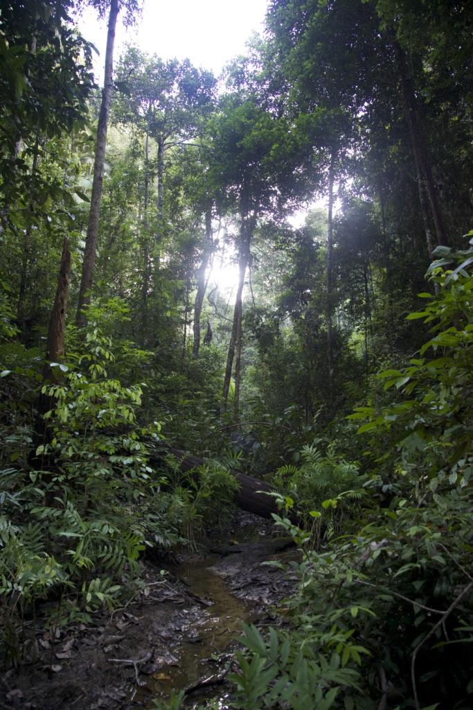 Forest scene in Muara Tae customary land, slated for conversion (credit: EIA/Tom Johnson)