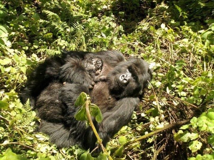 baby-gorilla-Dawn-Zimmerman
