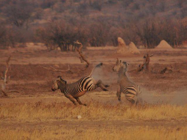 "Photo of the Day Contest, ""Zebra Kick"""