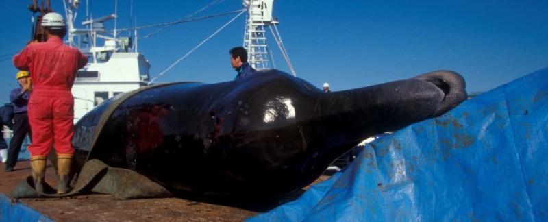 Bairds beaked whale (c) EIA