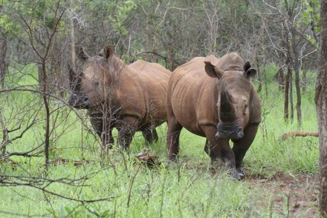 BW Rhinos