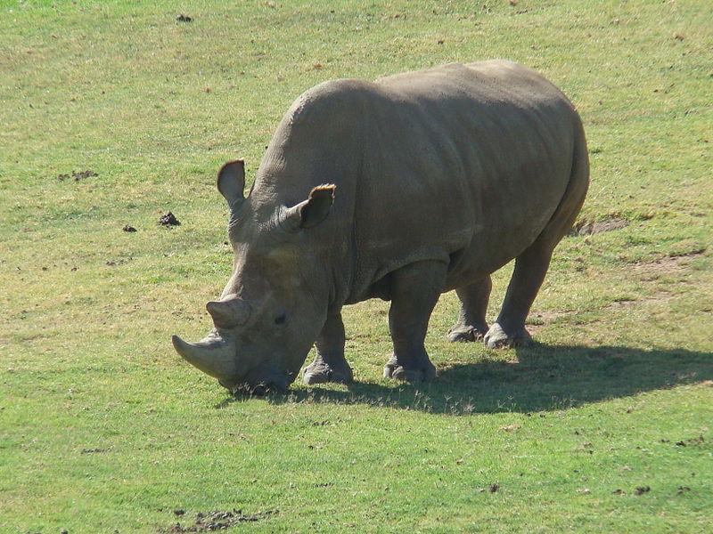 Rhino Northern_White_Rhinoceros_Angalifu