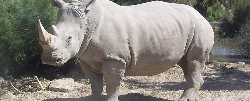 Rhino Southern