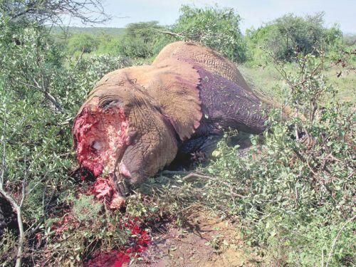 Breaking News: Poachers Storm Village of Elephants! Bush Warriors pleas to Stop the Carnage.