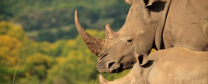 Rhino Chris1