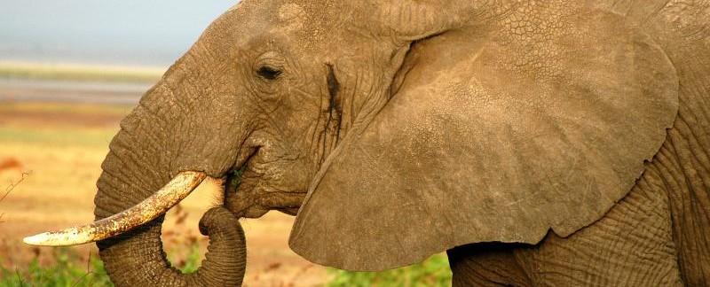 Elephant Serangeti