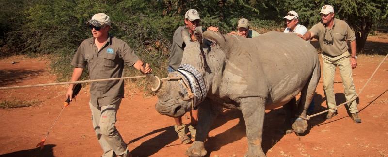 rhino translocation